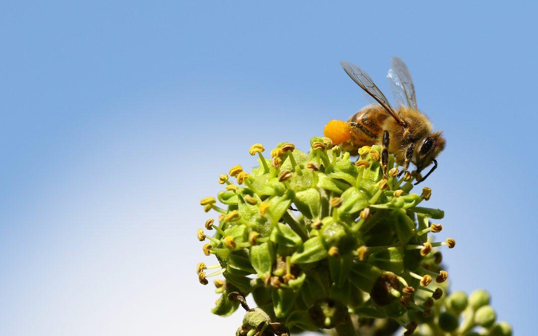 pollenallergi og akupunktur