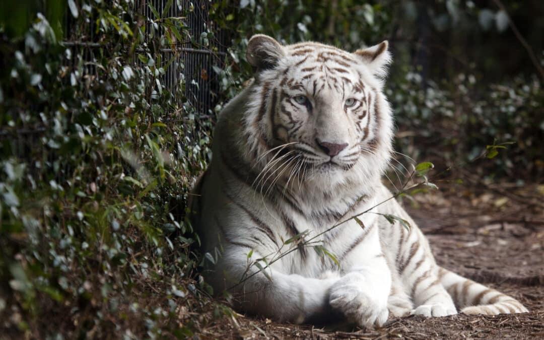 Tigerens måned – februar